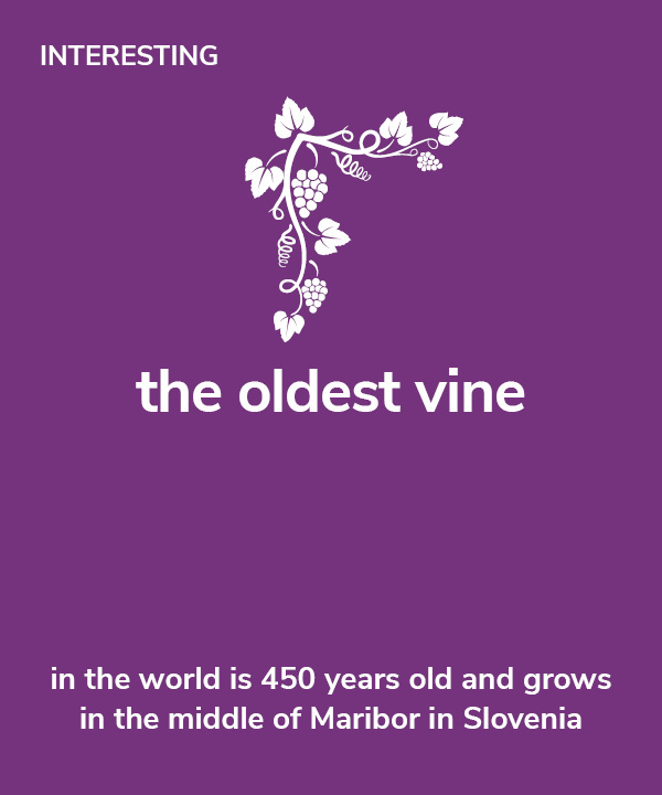 Interesting - The oldest vine in the world is 450 years old and grows in the middle of Maribor in Slovenia.