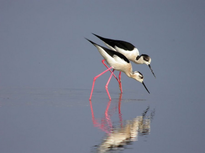 The black-winged stilt